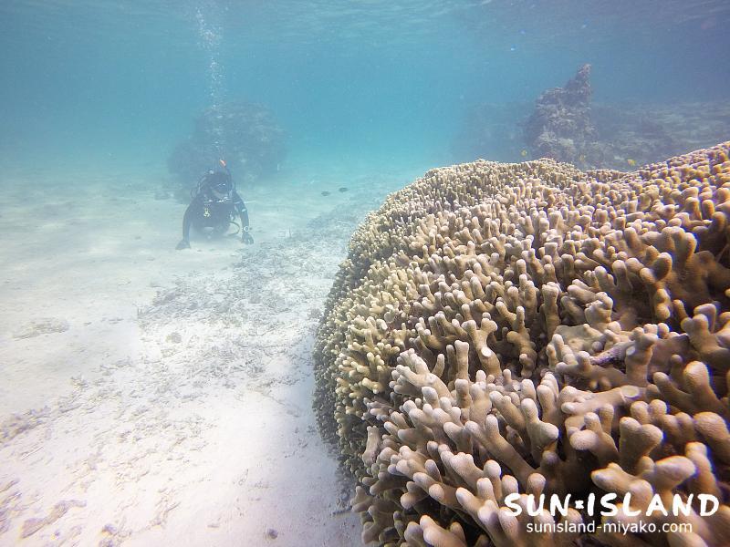 シギラビーチ内にあるユビエダハマサンゴの群生