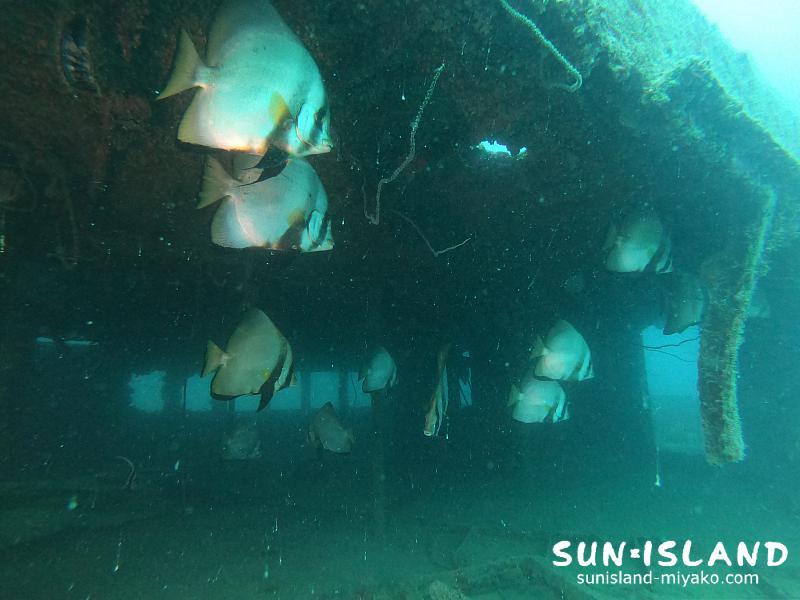 沈船に群れるアカククリ