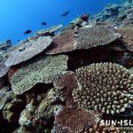 サンゴが群生する八重干潮